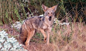 Desert animals desertusa coyote fandeluxe Gallery
