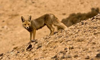 Desert animals desertusa jackal fandeluxe Gallery