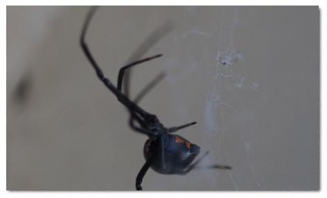 desert black widow spider - photo #41