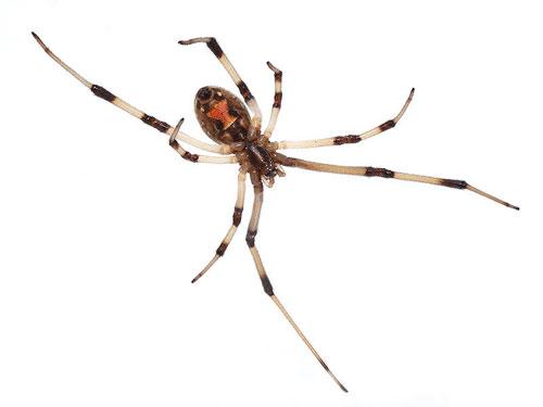Brown-widow-spider-Latrodectus-geometric
