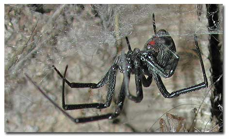Photo of Black Widow Spider