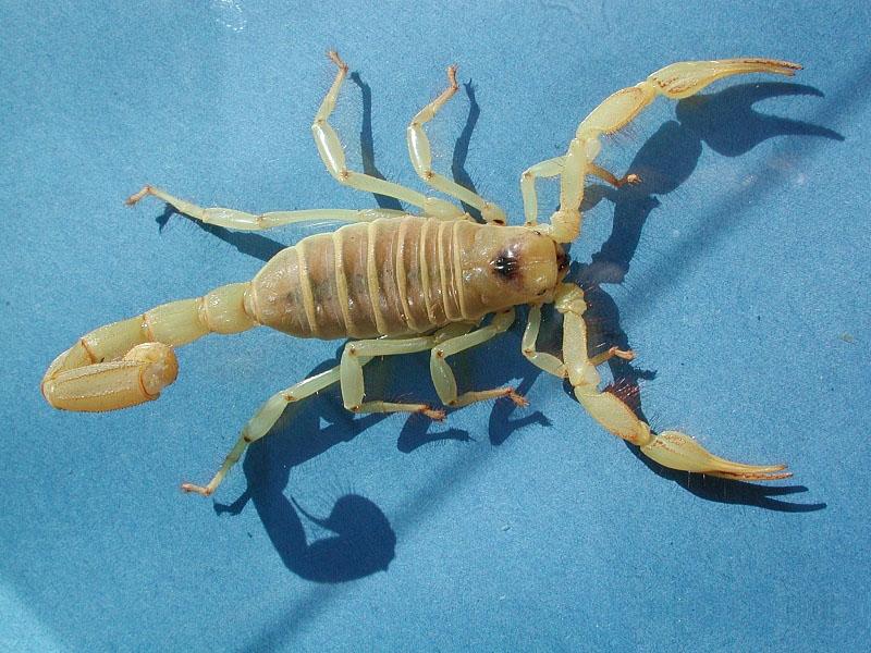 Captive Hairy Scorpion  2003   Scorpion