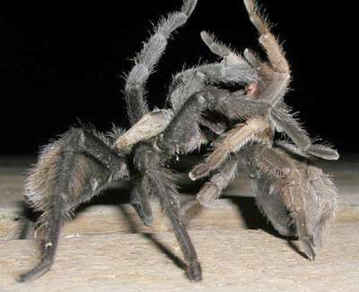 Tarantulas Photos Desertusa