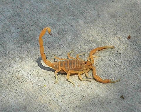 Bark Scorpion 2008 Photo By Musides Wikimedia