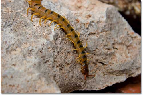 Centipede Control and Eradication - DesertUSA
