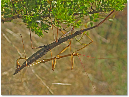 Male and female walking stick mating, a process that may last for hours, days or even weeks, in south central New Mexico.