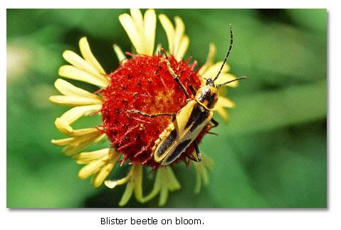 Blister Beetle - DesertUSA