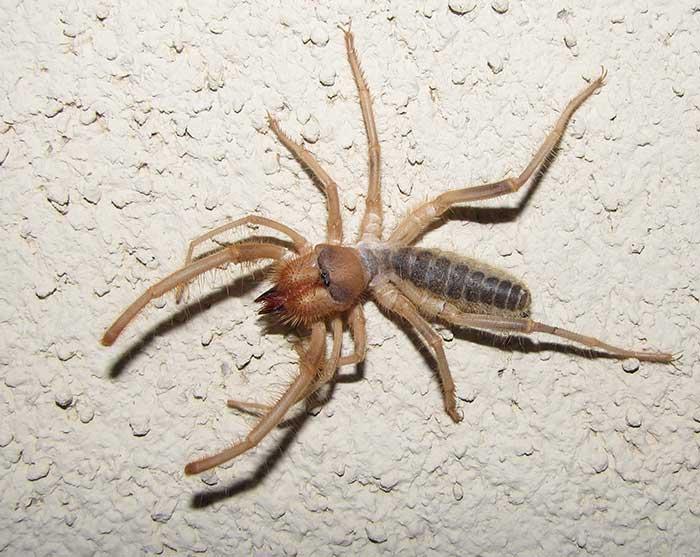 Solpugids - Camel Spiders - Wind Scorpions - DesertUSA