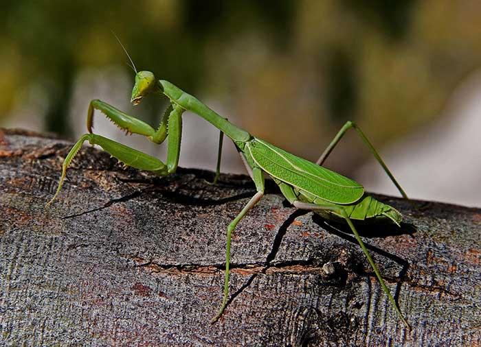 Praying Mantis - DesertUSA