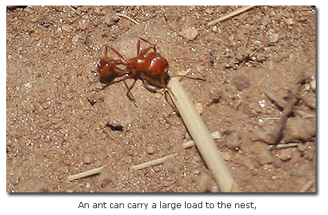 Spiders that pretend to be ants keep their spiderly ... |Baby Red Ants