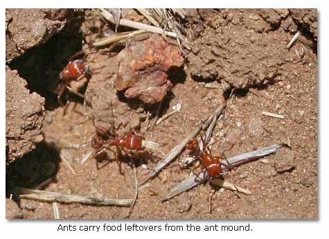 Harvester Ants harvester ants