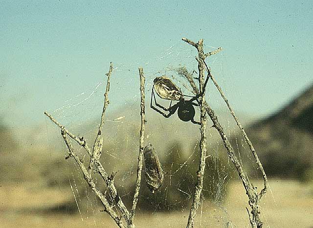 desert black widow spider - photo #44