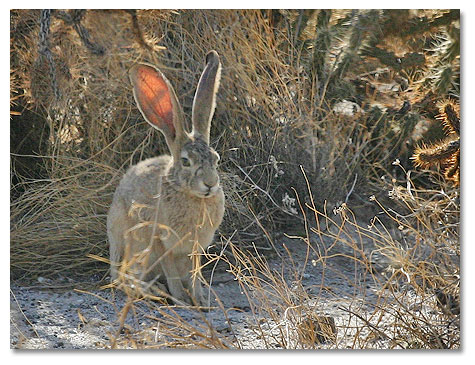 Jack Rabbit in desert