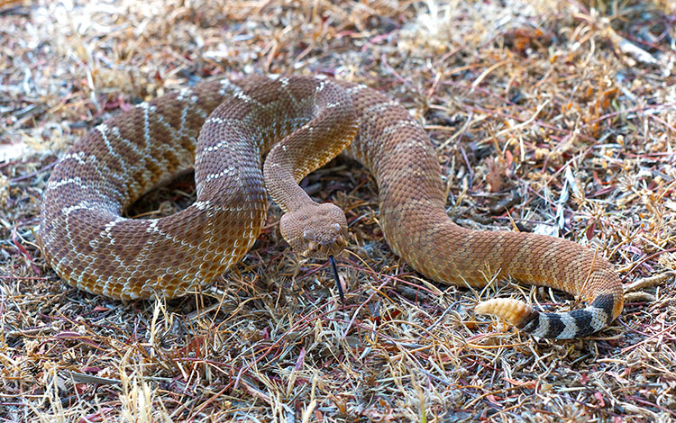 Rattlesnakes and Their Bites - DesertUSA