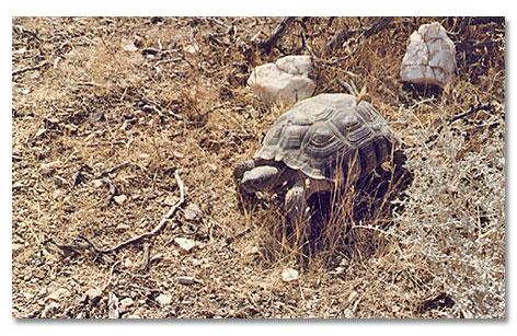 California Desert Tortoise Rescue - DesertUSA