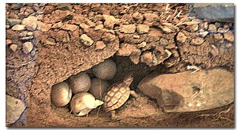 Desert Tortoise - DesertUSA