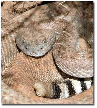 Gila Monster Vs Rattlesnake
