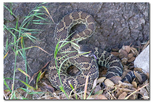 How to keep rattlesnakes away from your property