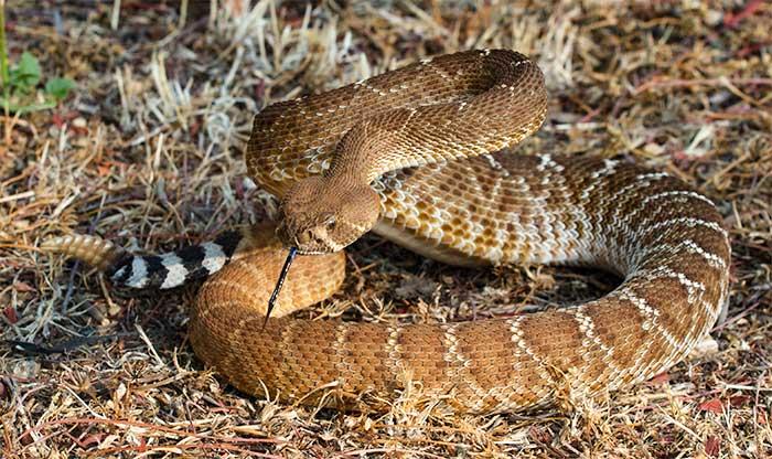 Are Rattlesnakes Bites Becoming More Dangerous Desertusa