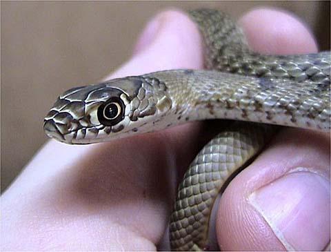 The Coachwhip Snake Masticophis Flagellum Desertusa