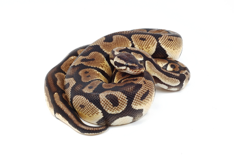 Ball python adult size, lauren pope nude pics sexy