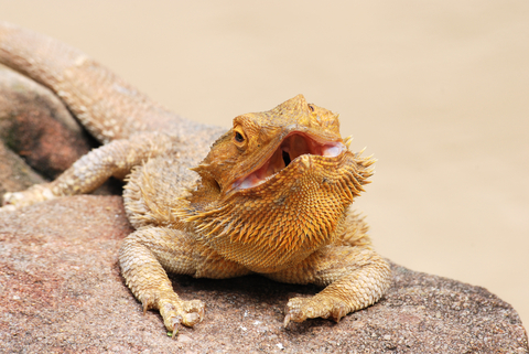 The Inland Bearded Dragon - Pogona vitticeps - DesertUSA