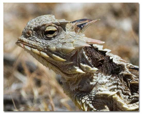 Horned Lizards, Horny Toads - Genus Phrynosoma - DesertUSA