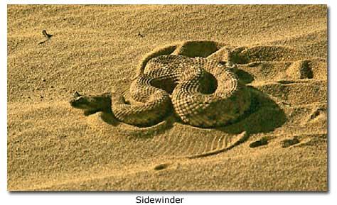 sidewinder rattlesnakes desertusa