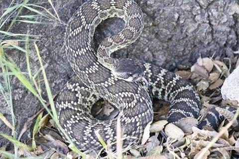 Southern Pacific Rattlesnake, Crotalus oreganus helleri