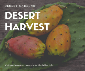 How to Harvest Prickly Pear Fruit and Pads