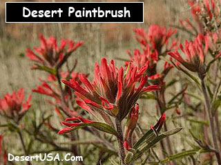 Desert Wildflower Red Pink Orange Wildflowers Desertusa