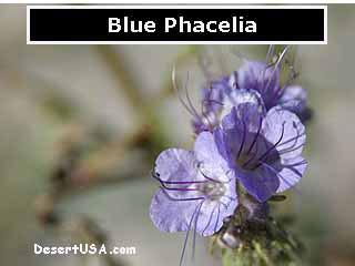 Blue And Purple Desert Wildflowers Desertusa