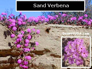 Blue and purple desert wildflowers desertusa blue and purple desert wildflowers mightylinksfo
