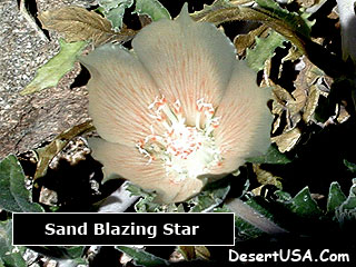 Desert white wildflowers desertusa region deserts sonoran desert mightylinksfo