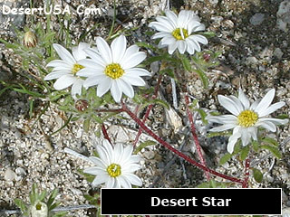Desert White Wildflowers Desertusa
