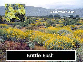 Desert wildflower yellow and gold wildflowers desertusa wf mightylinksfo