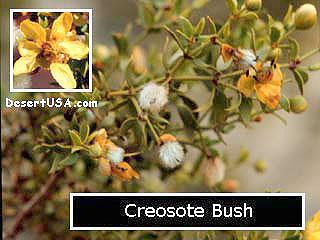 Desert Wildflower Yellow And Gold Wildflowers Desertusa